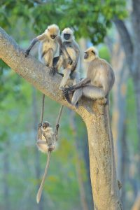 King of the Swingers, Gray Langur Monkeys in India by Thomas Vijayan