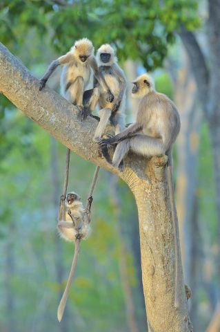 King of the Swingers, Gray Langur Monkeys in India by Thomas Vijayan.resize