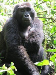 gorilla-in-ugandas-bwindi-impenitrible-forest-photo-carrie-hampton