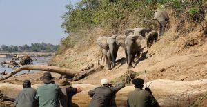 walking-safari-on-banks-of-luangwa-river-with-kiango-shenton-safaris