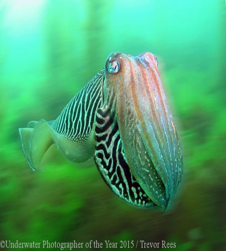 British Waters Winner 'Cuttlefish in a blur' by Trevor Rees