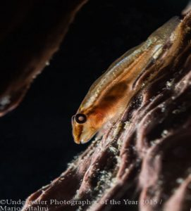 Mosst Promising Underwater Photographer of the Year 2016 'Glowing Goby' by Mario Vitalini