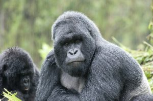 Silverback in the rain - photo Volcanoes Safaris