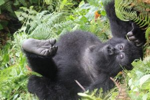 Young Gorilla, photo from Volcanoes Safaris_compressed