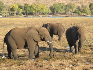 Elephants on Sedudu Island, Chobe_compressed
