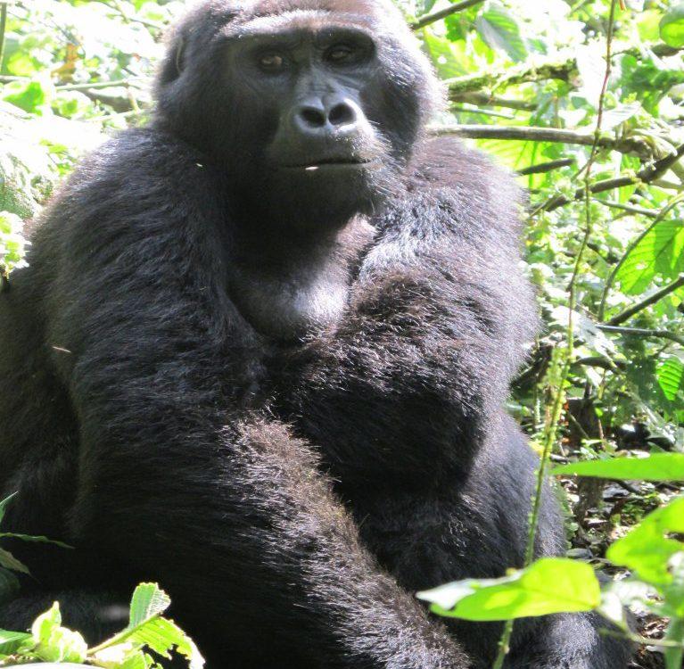 Gorilla - close up 1_compressed
