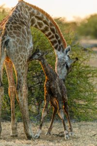 giraffe-newborn-first-steps-by-roger-de-la-harpe