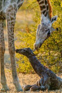 giraffe-newly-born-by-roger-de-la-harpe