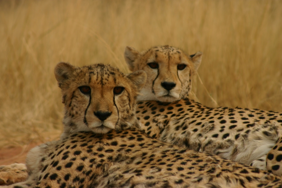 3-cheetah-and-okonjima_compressed