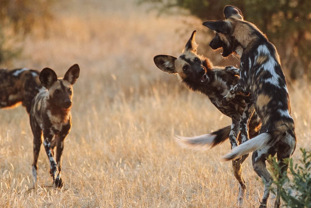 Wild dogs in ruaha