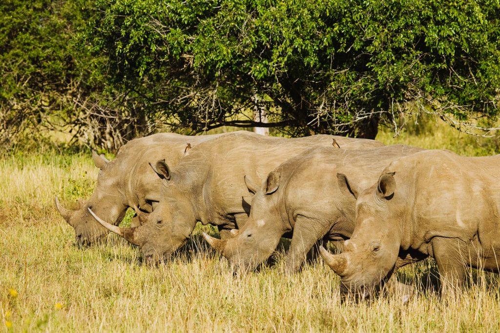 umfolozi-rhinos