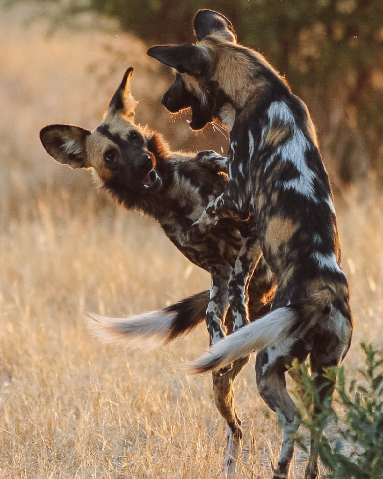wild-dog-vertical-2