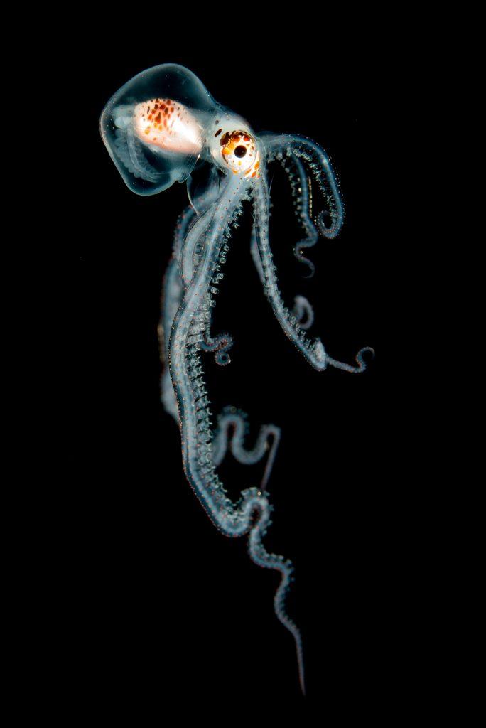 Helen-Brierley-Pelagic-Octopus-at-Night-Hawaii