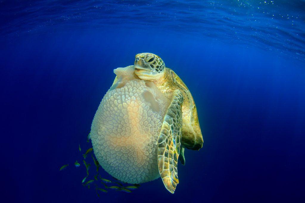Richard-Carey-Turtle-eating-Jellyfish-Thailand.
