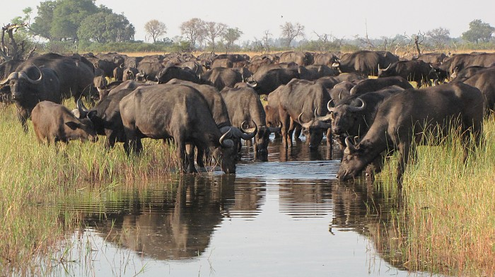 buffalo-by-verena-altern, Xigera Camp, Okavango Delta