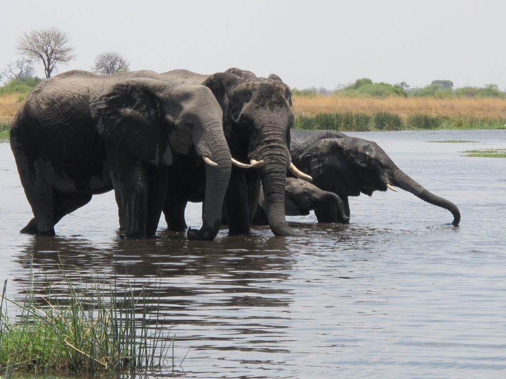 elephants at Selinda Camp, Botswana