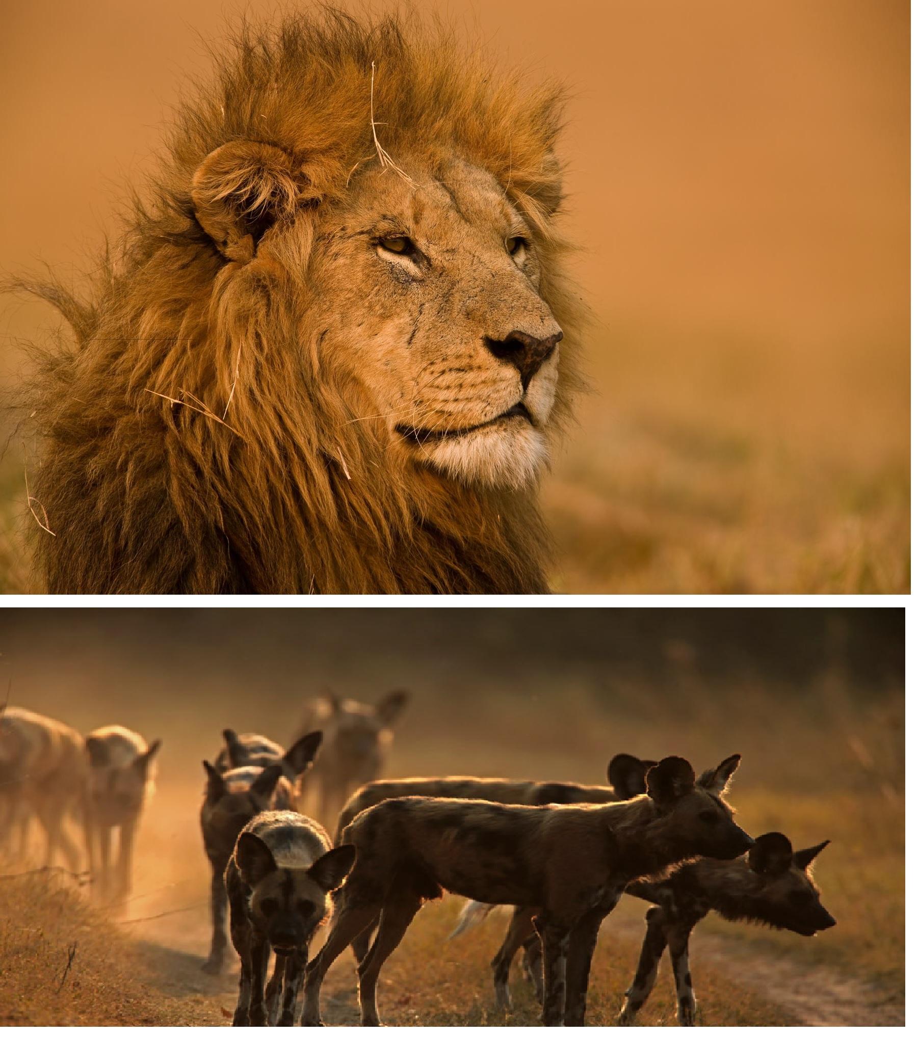 lion-wild-dog-photo-great-plains