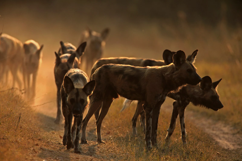 wild-dog-photo-great-plains-conservation
