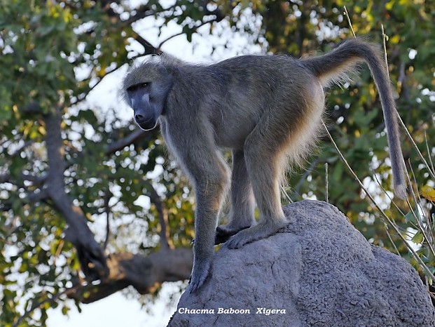 baboon-by-dave-richards Xigera Camp, Okavango Delta