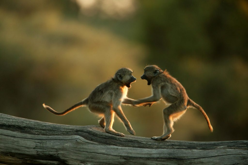baboons-photo-great-plains-conservation