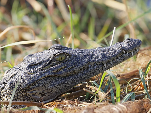 croc-by-dave-richards, Xigera Camp, Okavango Delta