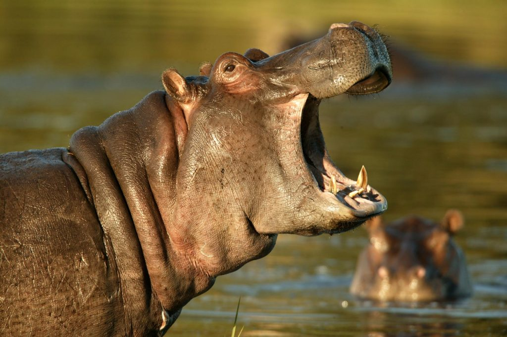 hippo-photo-great-plains-conservation