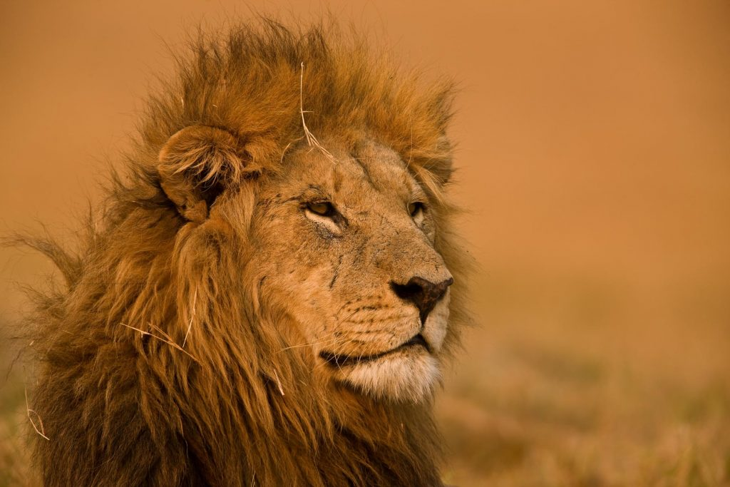 lion-photo-great-plains-conservation