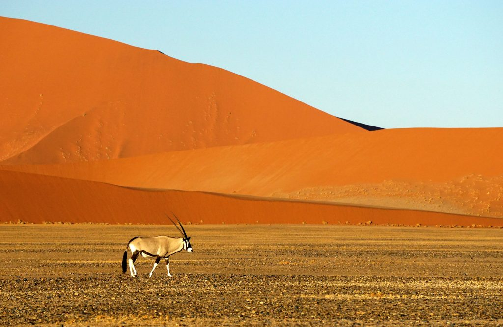 Gemsbok by joe-mcdaniel-396036-unsplash